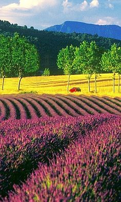 ✯ Lavender Field, France