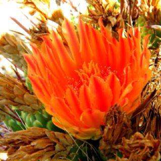 Tucson desert flower in bloom