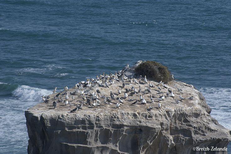 Le rocher des #Ganets à Muriwai Beach http://www.breizh-zelande.fr/premier-woofing-terre-kiwi/ #woofing #NZ