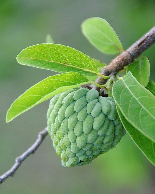 Sweet sop. | Jamaica | Pinterest