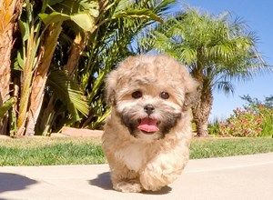 Pin By Heatherlyn Music On Maltipoos Maltipoo Puppies For Sale