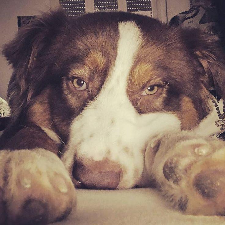 Quando ti svegli con la voglia di portare al parco il tuo umano ma fuori diluvia... Foto di:  @wild_depressiondog  Wake up!!! #wilddepressiondog #wdd #wild #wildiny #willison #williwonka #aussie #redtriaussie #australianshepherd #australianshepherdsofinstagram #australianshepherdworld #bausocial #dogsofig #dogsofinstaworld #dogsofinsta #dogsofinstagram #dogs #dogslife #igers #igersitalia #australianshepherdofinstagram #cute #puppy #puppyoftheday #puppyofinstagram #puppiesforall #pup…