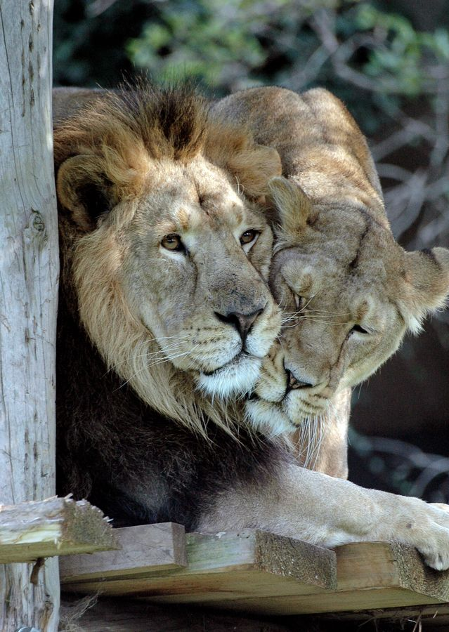Lions in Love by Clair PP on 500px