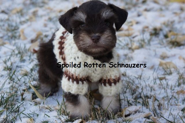 Liver and Tan Teacup Toy Schnauzer. photo taken by
