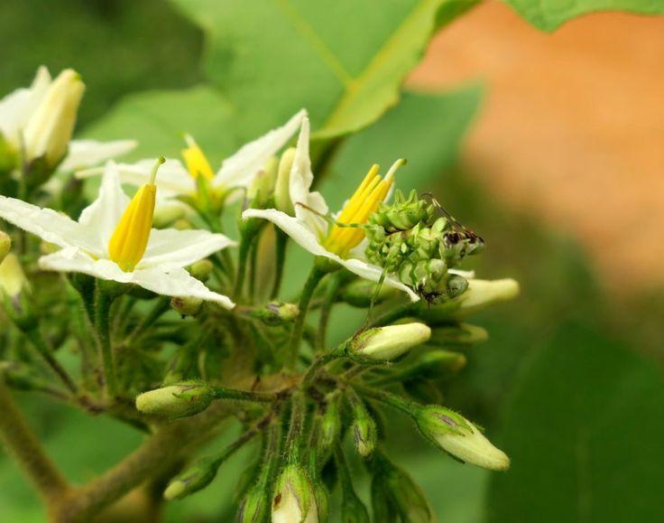 Afrikanische Blütenmantis, Pseudocreobotra wahlbergii - Elfenbeinküste