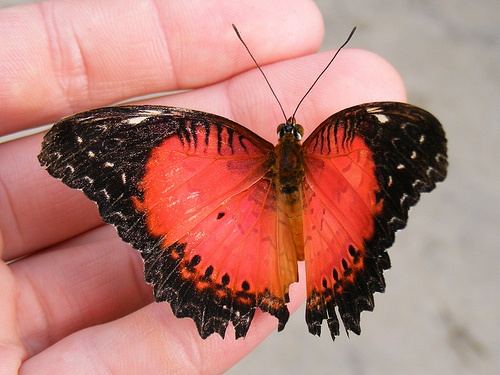 36 best Butterflies - Red Lacewing, Common Lacewing, or ...