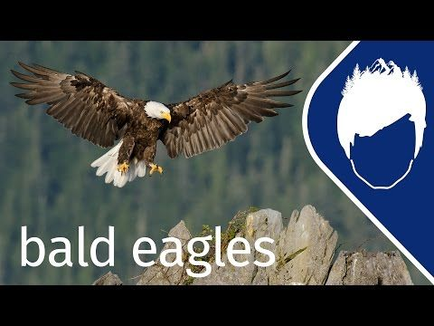 NatGeoWild: Bald Eagles Dive-Bomb for Dinner (Episode 3) | wild_life with bertie gregory
