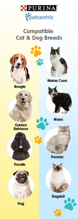 Petcentric, sponsored by Purina, is your trusted source for helpful facts & fun pet tips for your furry friend. Thinking of adopting a new kitten or puppy for your family, but already have one or the other? Help ensure a furry friendship by choosing wisely. A few cat breeds that are down with dogs are Maine Coons, Manx, Persians & Ragdolls. Conversely, dog breeds that are feline friendly include Beagles, Golden Retrievers, Poodles & Pugs. Visit Petcentric.com for more pet help, training…