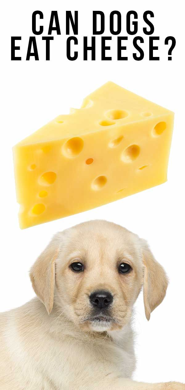 Can Dogs Eat Cheese, Or Is Cheese Bad