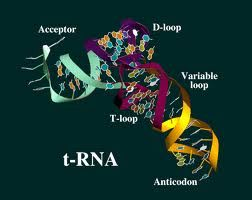 tRNA - http://www.proteinsynthesis.org/trna/