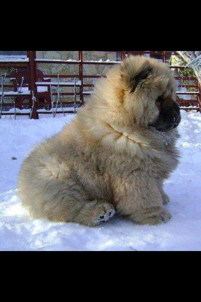 Best Spherical Chubby Adorable Dog - 7840883fde42fe3eb7f21a49478de595--fat-dogs-fluffy-puppies  Image_415215  .jpg