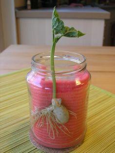Bohnentagebuch - Projekt zur Pflanzenkunde an der Waldorfschule