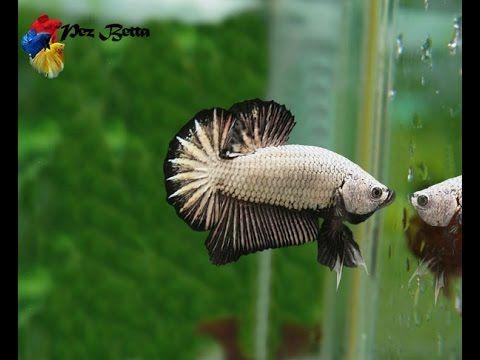 (8) pecera para pez betta - YouTube