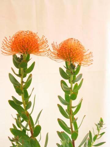 Leucospermum 'Sunrise' • Australian Native Plants Nursery • Plants • 800.701.6517