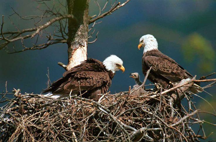 Bald Eagle Cam – Live from Minnesota – Breeding Season 2015 | Natural History Nature Documentary