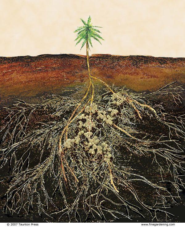 Mycorrhizae help feed your plants