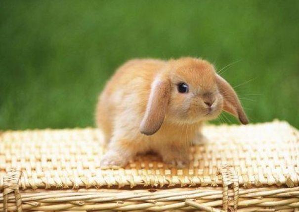 Conejo enano Belier. Esta raza de conejos, se caracteriza por sus orejas, las cuáles son largas y caídas. Son extremadamente tranquilos y dóciles. Existe una gran variedad de colores. También dentro de los belier, hay distintos tipos de pelaje. Concretamente nos encontramos con tres grupos: belier de pelo corto, belier angora y belier cabeza de león.