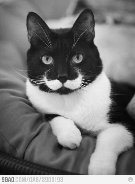 White cat stacheHercules Poirot, Black And White, Pets, Black White, Funny, Mustaches Cat, Kitty, Moustaches Cat, Animal