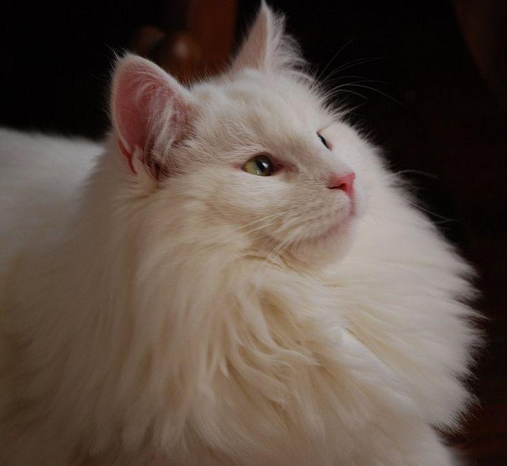 Norwegian Forest Cat breeder of Norwegian Forest Kittens | at Norgeskaukatt North Yorkshire UK