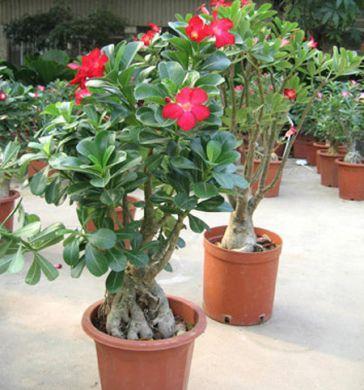 le piante | AIM NEWS: Come curare le piante: la Rosa del Deserto