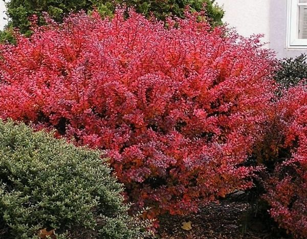 Red leaf shrubs and plants another good screen shrub is for Large bushes for landscaping