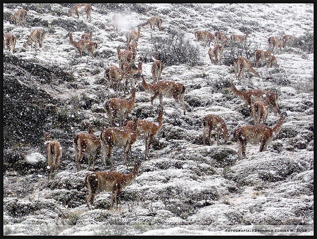 Guanacos invernales I by FeñyZ, via Flickr