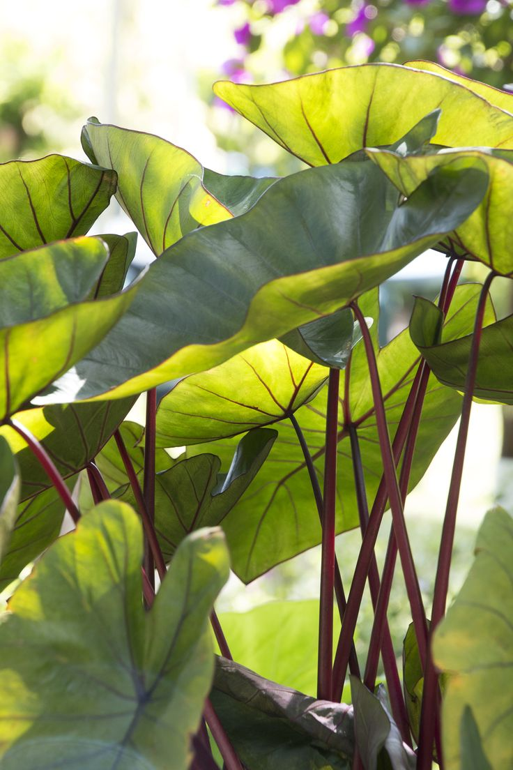 Royal Hawaiian® Hawaiian Punch Elephant Ear has striking bright green leaves with bright red stems that add bold color and tropical flair to any garden. A wonderful choice for the edge of a pond or water garden. Spreads freely in rich, wet soils, more slowly in heavier soil or dry conditions. Herbaceous perennial. Zone 7-10
