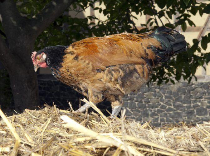 ▷Maximilians Kinder-Arche | Max Jasker züchtet bedrohte Haustierrassen ✅ Vorwerkhühner sind eine bedrohte Hühnerrasse ✅ Arche Region ✅ Amt Neuhaus