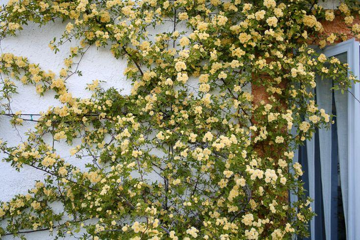 Rose : R. banksiae lutea