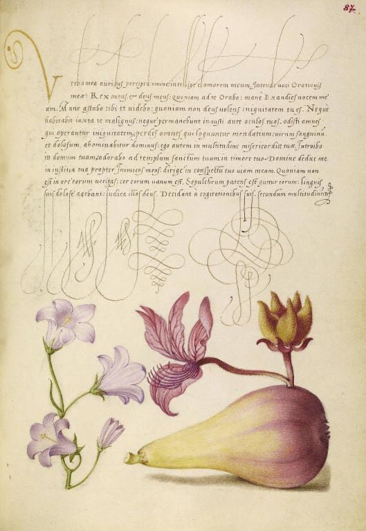 [folio 87r] Joris Hoefnagel (illuminator) [Flemish / Hungarian, 1542 - 1600], and Georg Bocskay (scribe) [Hungarian, died 1575], Rampion, Dittany, and Pear, Flemish and Hungarian, 1561 - 1562; illumination added 1591 - 1596, Watercolors, gold and silver paint, and ink on parchment, Leaf: 16.6 x 12.4 cm (6 9/16 x 4 7/8 in.), 86.MV.527.87.