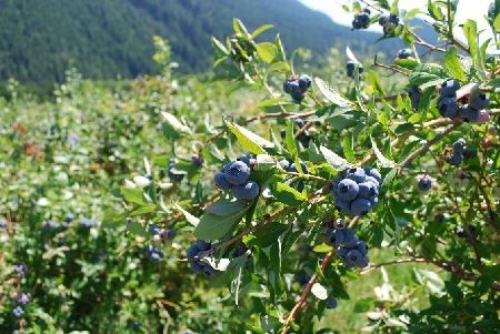 Things to do when you visit The Old Hen B and B in the Snoqualmie Valley: Pick fresh blueberries at Bybee Farms