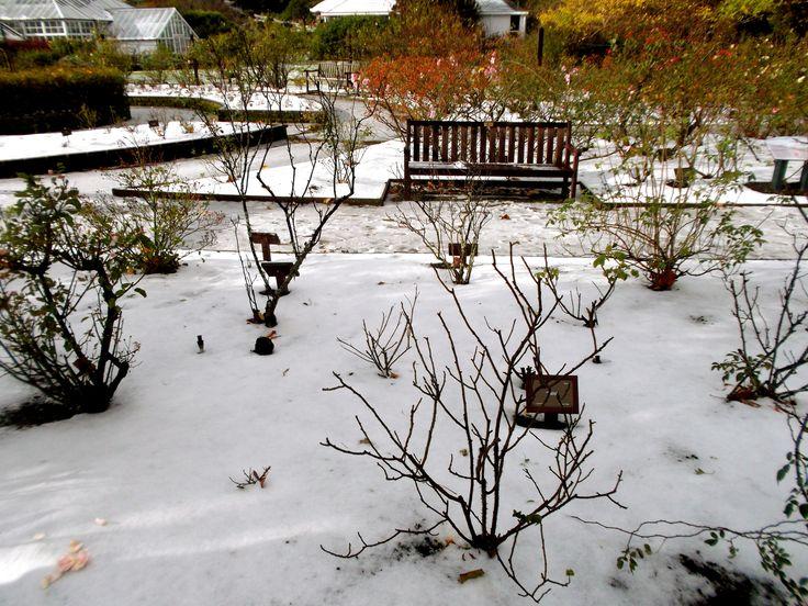 Winter rose gardens
