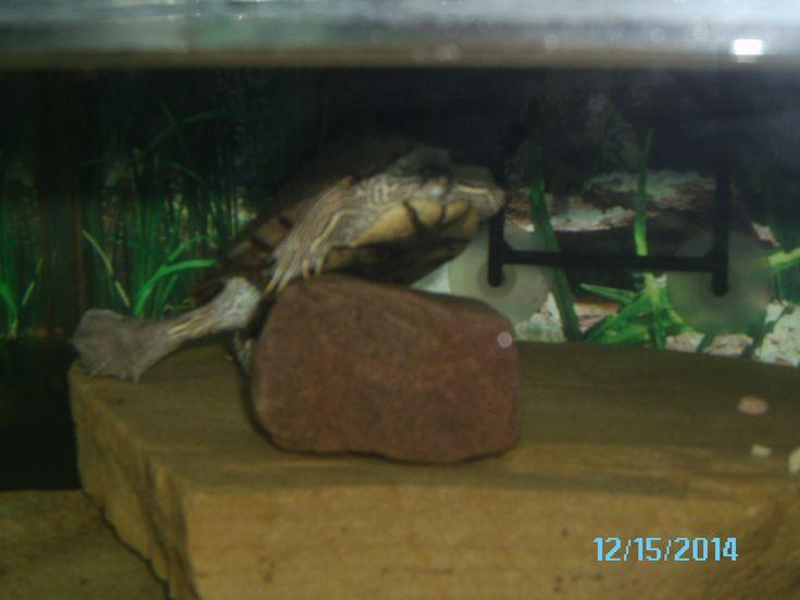 aquarium turtle aquarium aquarium set mico s aquatic turtle forward ...