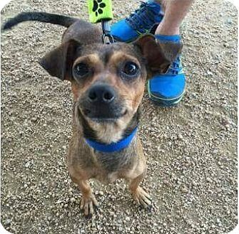 Dallas, TX - Chihuahua Mix. Meet Artemis, a dog for adoption. http://www.adoptapet.com/pet/16750649-dallas-texas-chihuahua-mix