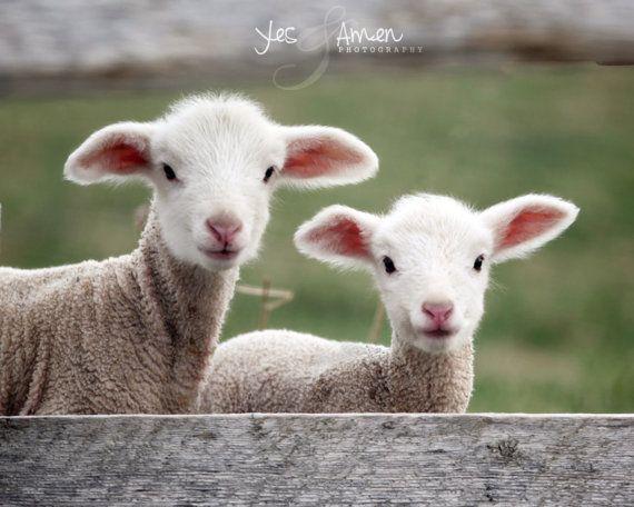 goodness & mercy - fine lamb cards (and so farm fresh)