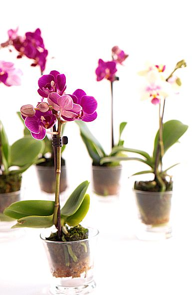 Mini-orquídeas | Bourguignon Floristas #orchids #flowers