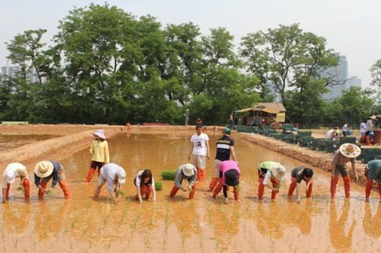 Mo-Nae-Gi(rice planting) in Seoul city farm