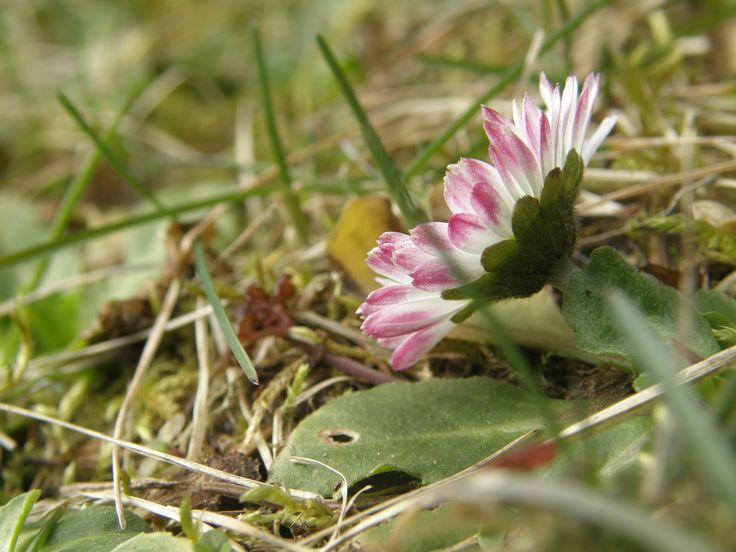 A little flower in the lawn...