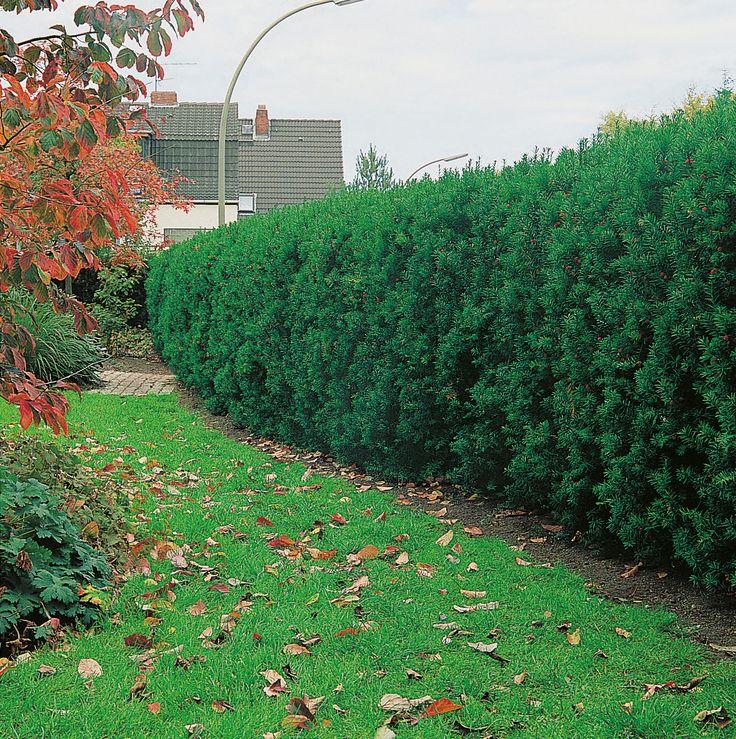 Idegran av storleken större,höjd 2,5-4 meter. Tålig och kan placeras i flesta lägen och väldränerade, näringsrika jordar. Passar den större trädgården som solitär eller häck.