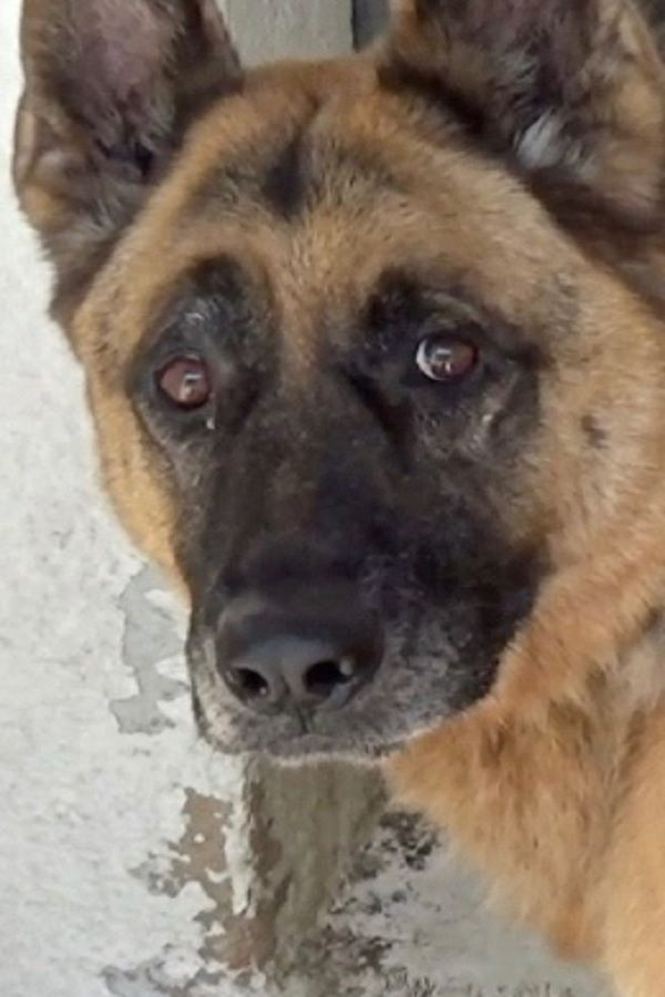 Abused And Dumped German Shepherd Rescued By Police Video