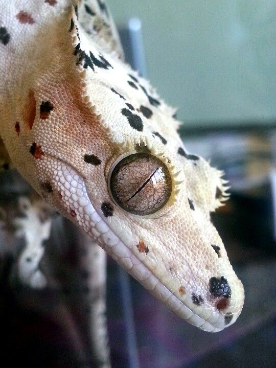 Dalmation crested gecko