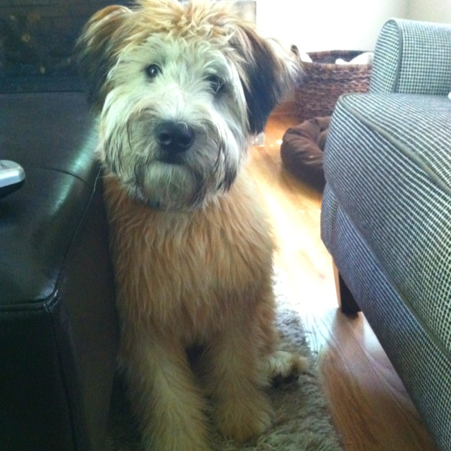 My Soft Coated Wheaten Terrier - 7 months: Pet, Wheaton Terriers, Terriers Freeway Breeds, Box, 640640 Pixel, Wheaten Terriers Freeway