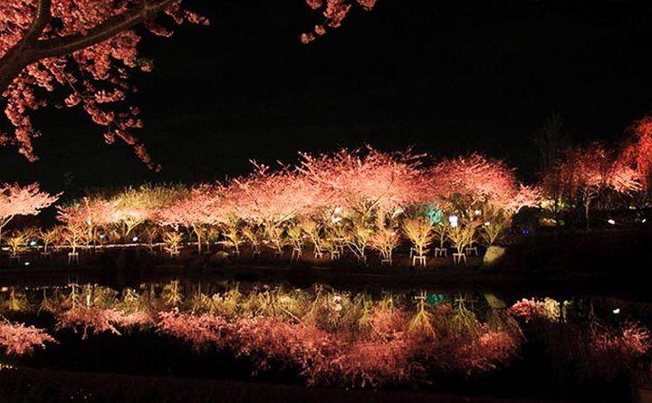 Les cerisiers viennent d'éclore dans cette ville japonaise, et les clichés sont magiques.