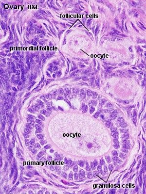 Ovarian Histology - Female Reproductive System