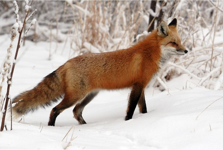 Red Fox | Fox Facts For Kids