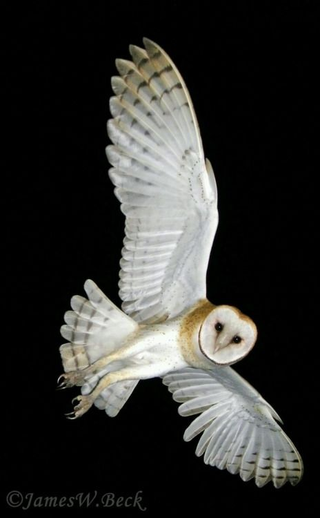 Barn Owl - by James W. Beck -