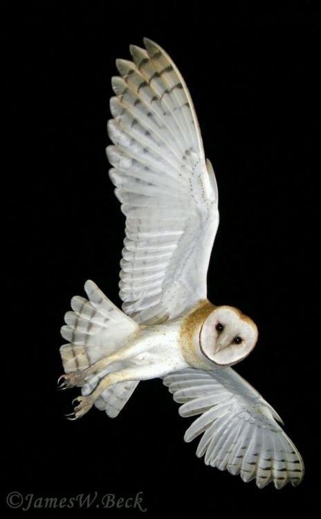 Barn Owl - by James W. Beck - from Un peu de tout, un peu de moi...
