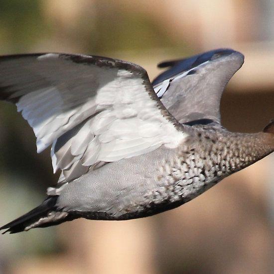 flying duck