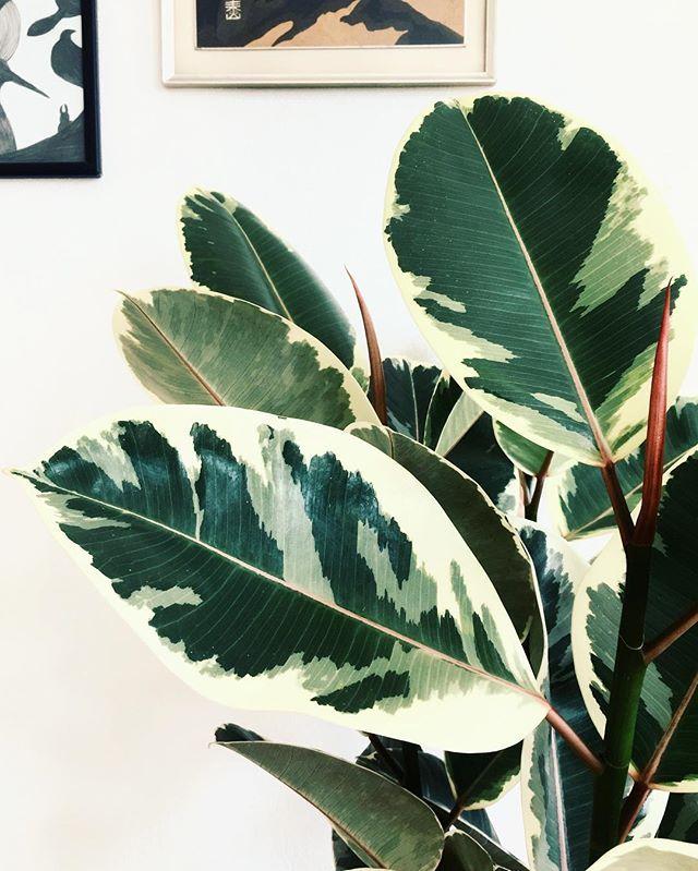 Variegated rubber plant leaves   #plantArt #ficuselastica #gummitræ #plantsmakepeoplehappy #stueplanter #urbanjunglebloggers