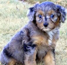 Image result for blue merle aussiedoodle